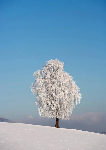 Austria, View of birch tree on snowy landscape