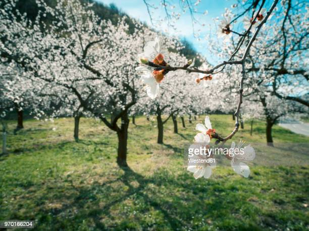 austria, wachau, apricot blossoms - apricot tree stock pictures, royalty-free photos & images