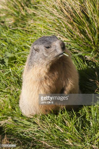 austrian marmot - funny groundhog stock photos and pictures