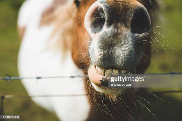authentic shetland pony - horse teeth stock photos and pictures