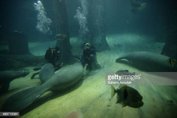 Author and television presenter of River Monsters series Jeremy Wade feeds the manatees during the Jeremy Wade's exclusive showcase at River Safari...
