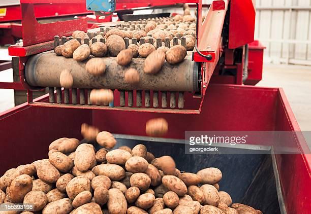 automated potato processing - rauwe aardappel stockfoto's en -beelden
