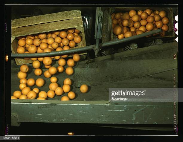 Automatic dumper at the coop orange packing plant Redlands Calif 1943