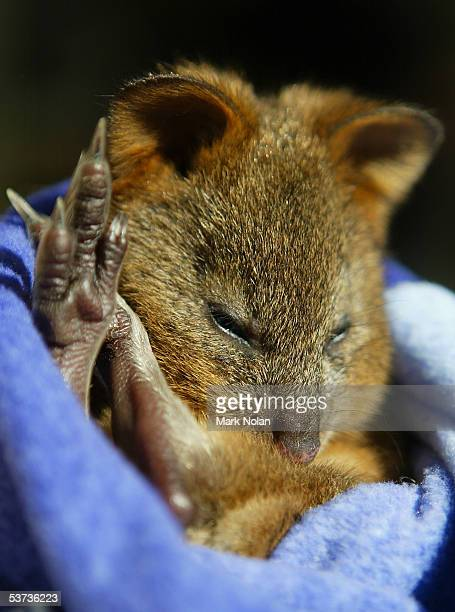 """Autumn,"""" a baby Quoka, is one of the marsupials on show during the spring baby boom at Taronga Zoo September 1, 2005 in Sydney, Australia. """"Pebbles,""""..."""
