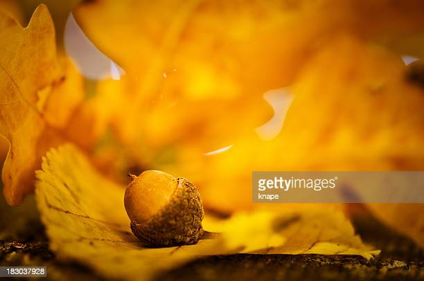 Autumn acorn and leaf macro