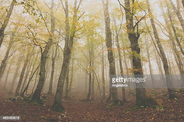 Autumn and Forest  in the Fog