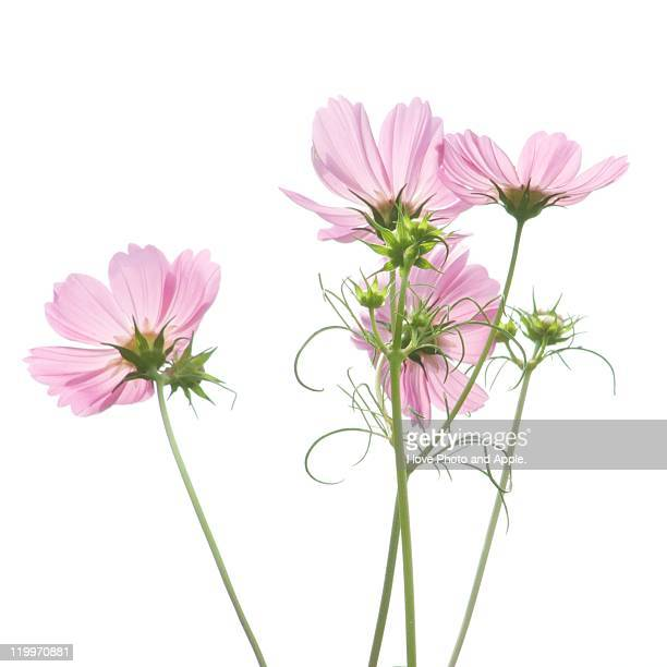 autumn arrival - cosmos flower stock photos and pictures