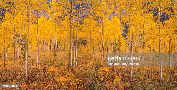 autumn aspen tree forest in the rocky mountains, co - aspen colorado stock photos and pictures