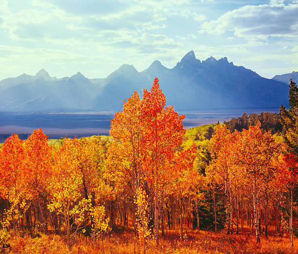 Autumn Aspen Trees In Grand Teton Natioal Park, WY Wall Art