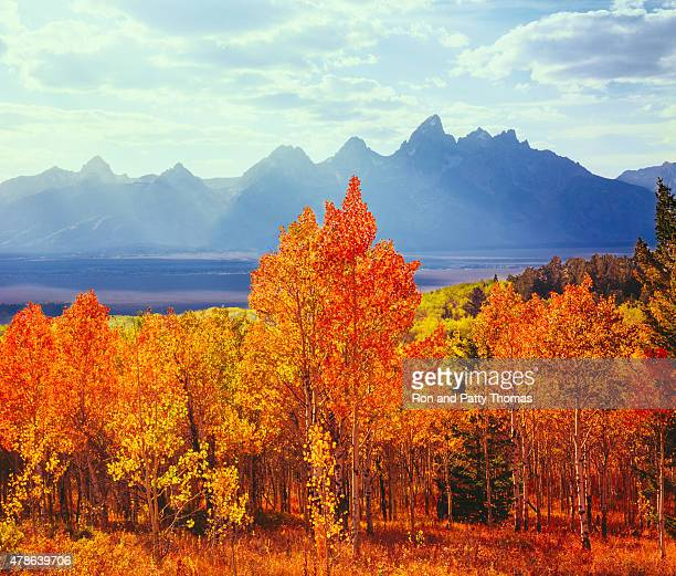 Autumn aspen trees in Grand Teton Natioal Park, WY