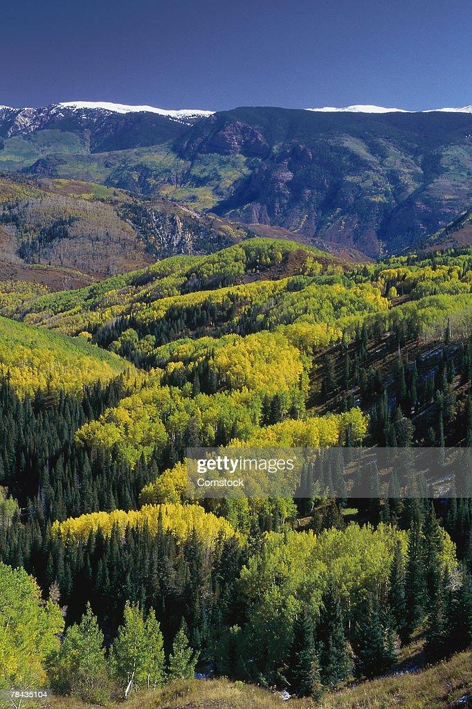 Autumn aspen trees in White River National Forest : Stockfoto
