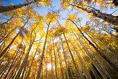 autumn aspen trees looking up