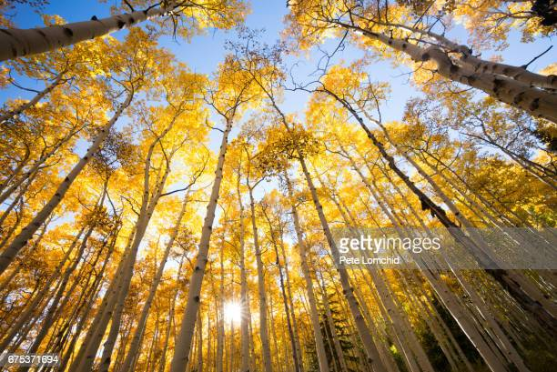 autumn aspen trees looking up - aspen colorado stock photos and pictures