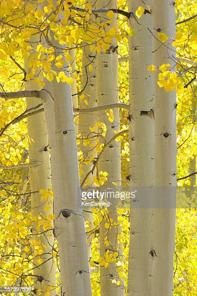 Autumn Aspen Trees