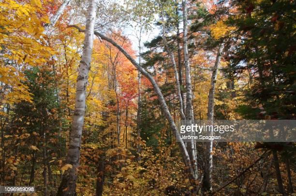 autumn atmosphere in lanaudière forests, québec, canada - foresta temperata foto e immagini stock