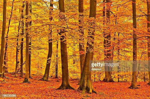 Bosque de otoño beech