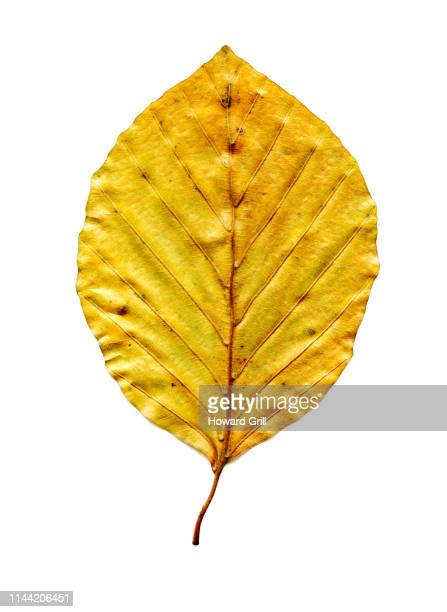 autumn beech leaf for extracting or blending - beech tree stock pictures, royalty-free photos & images