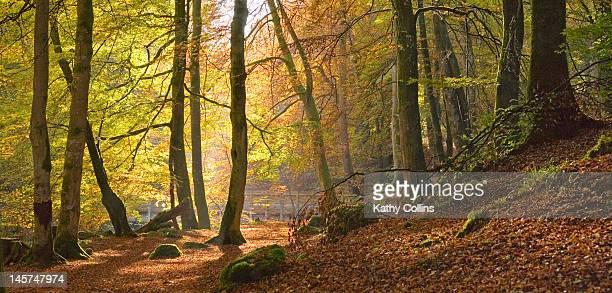 autumn beech woods, birks o'aberfeldy - アバフェルディ ストックフォトと画像