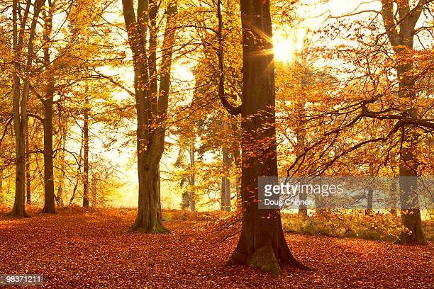 Autumn Beechwoods