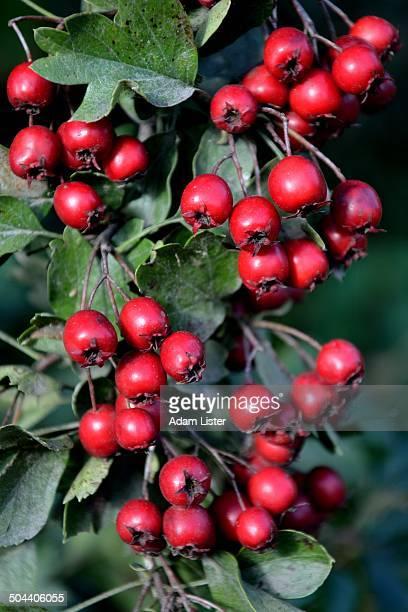 autumn berries - adam berry stock-fotos und bilder