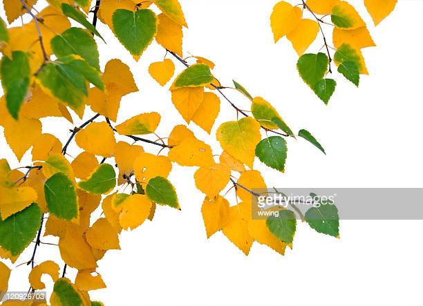 Autumn Birch Leaves with Clipping Path