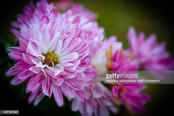 Autumn bokeh of Chrysanthemums flowers