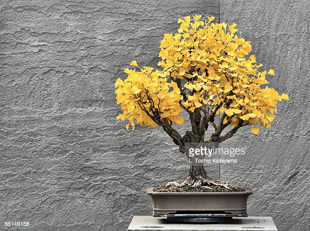 autumn bonsai - bonsai tree stock pictures, royalty-free photos & images