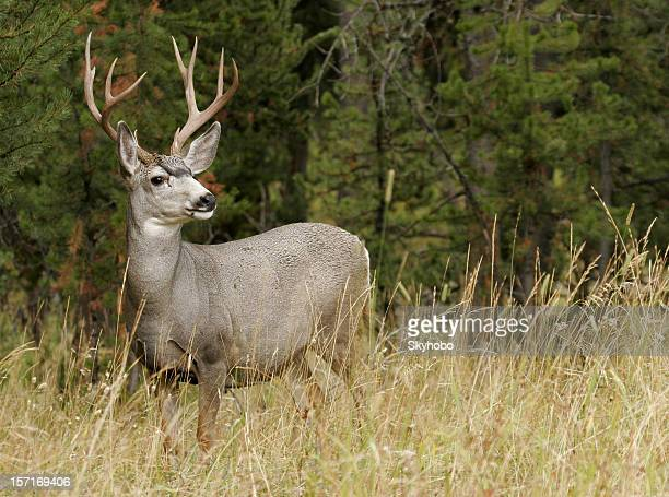 autumn buck - mule deer stock photos and pictures