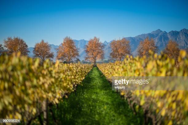 Autumn Cape Winelands Scene with row of Red Leaf trees Selective Focus