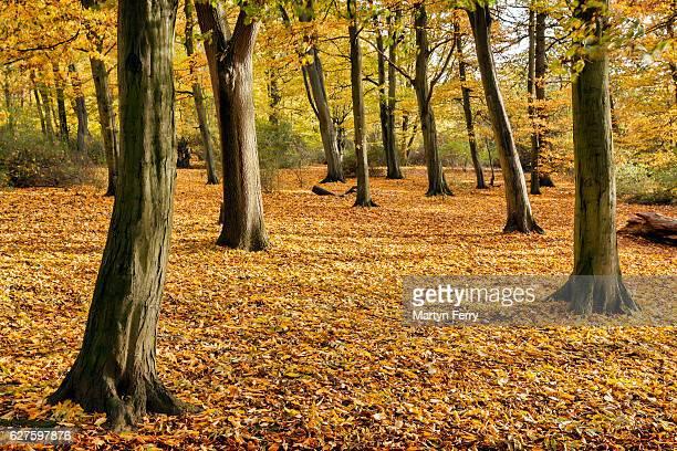 Autumn carpet, Hinchingbrooke Country Park, Huntingdon, Cambridgeshire, East Anglia, UK