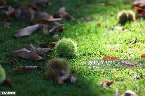 autumn chestnut - ashford kent - fotografias e filmes do acervo