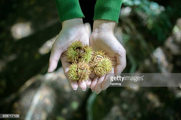 Autumn chestnuts in burrs in a woman's hand