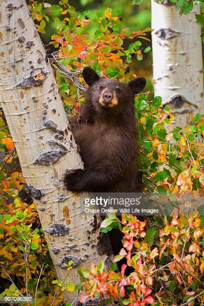autumn climber - bear cub stock pictures, royalty-free photos & images