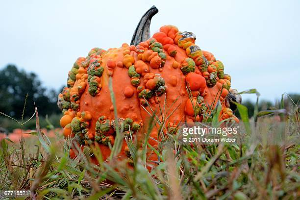 """""""autumn color series: red, orange & yellow"""" - ugly pumpkins stock photos and pictures"""
