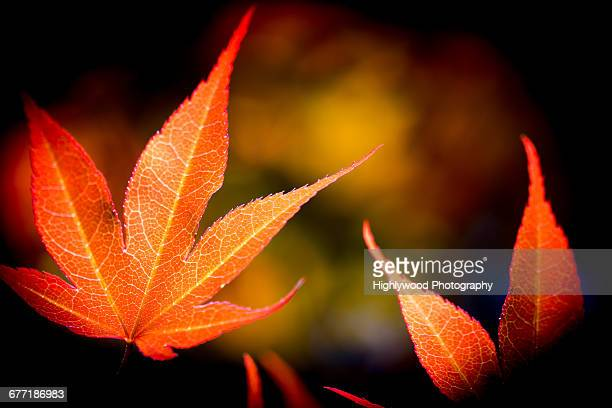 """autumn color series: red, orange & yellow"" - highlywood stock photos and pictures"