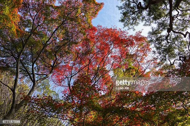 """autumn color series: red, orange & yellow"" - liyao xie stock pictures, royalty-free photos & images"