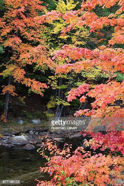 """autumn color series: red, orange & yellow"" - río swift fotografías e imágenes de stock"