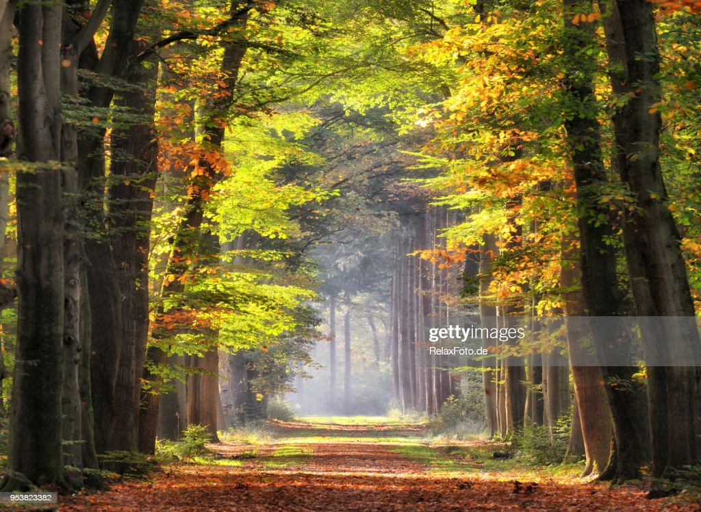 Autumn colored leaves glowing in sunlight in avenue of beech trees : Stock Photo