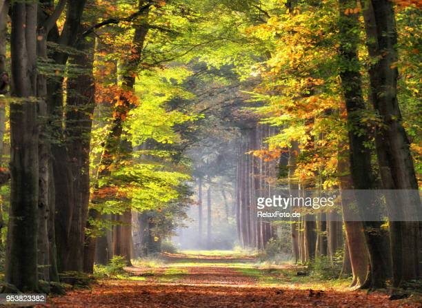 autumn colored leaves glowing in sunlight in avenue of beech trees - woodland stock pictures, royalty-free photos & images