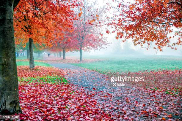 autumn colored maple leaf vancouver - stanley park vancouver canada stock photos and pictures