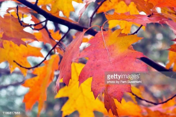 autumn colored oak leaves on tree branch - ast pflanzenbestandteil stock-fotos und bilder