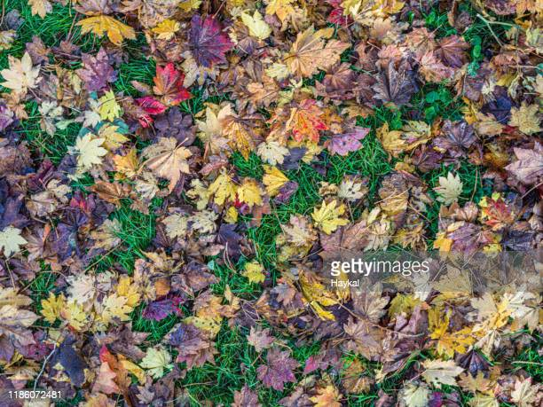 autumn colorful leaves - tetbury stock pictures, royalty-free photos & images