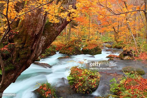 autumn colors, aomori prefecture, japan - 十月 ストックフォトと画像