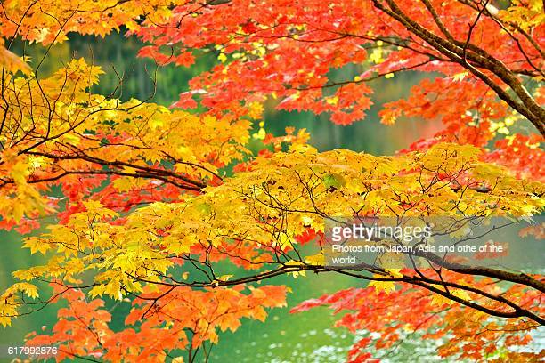 autumn colors at marunuma lake, nikko national park, japan - gunma prefecture stock photos and pictures