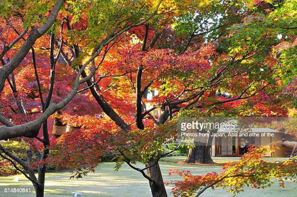 autumn colors at otaguro park, tokyo - suginami stock photos and pictures