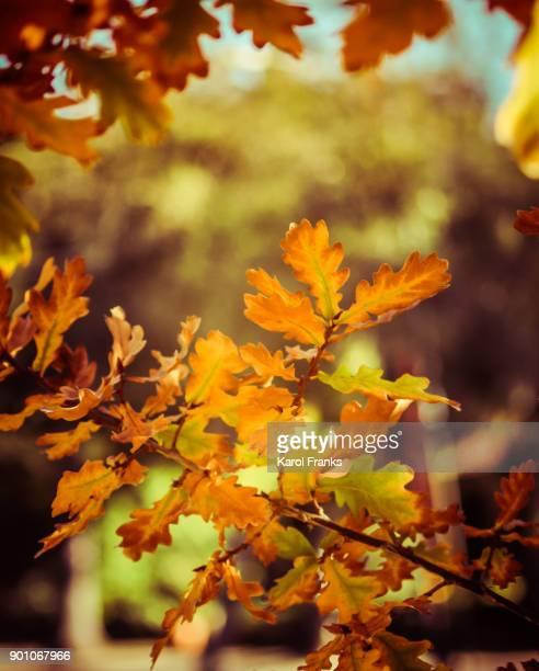 Autumn colors in oak tree