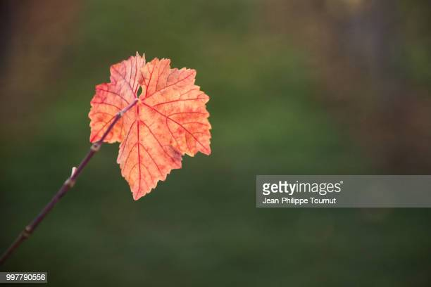 autumn colors in the vineyards of alsace, france - grape leaf stock pictures, royalty-free photos & images