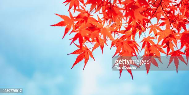 autumn colors in tokyo, japan, beautiful autumn maple leaves in sunlight. autumn forest natural landscape. - 紅葉 ストックフォトと画像