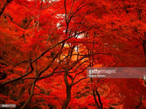 autumn colors in tokyo, japan - japanese tree stock photos and pictures