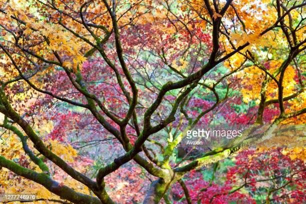 Autumn colors of trees in the Westonbirt Arboretum. Gloucestershire. UK.